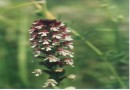 Orchis ustulata ©  Pandion Wild Tours