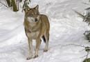Wolf ©  V.Pochekanski