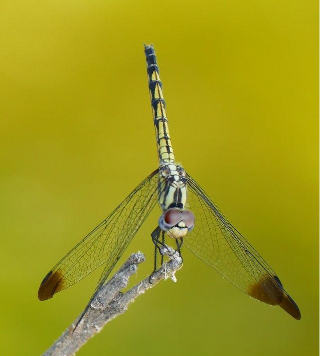 Dragonflies of Rhodes Island (Greece)  -NEW-