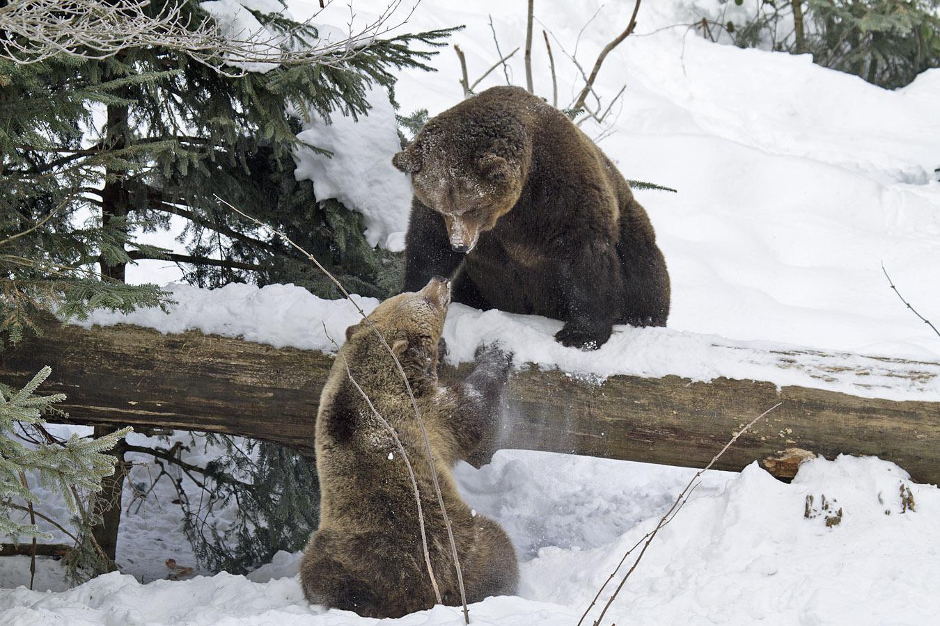 Brown Bears & Large mammals & Birds