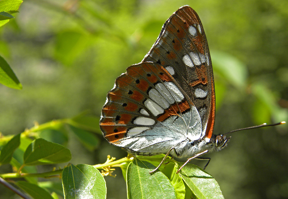 June Butterfly tour (Bulgaria)