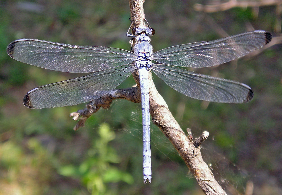 Dragonflies of Dobrudzha Area and Black-Sea Coast (Bulgaria)
