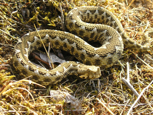 Reptiles and Amphibians of Bulgaria