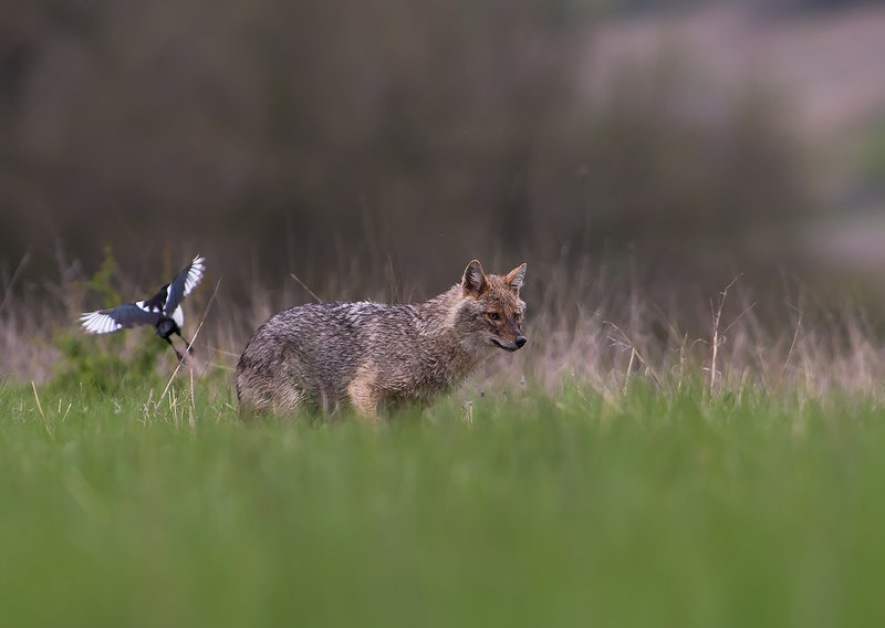 Golden Jackal & European ground squirrel photography  -NEW-