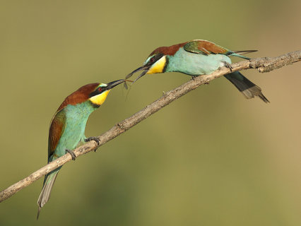 Bee-eaters and Rollers photography tour
