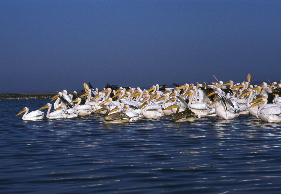 Danube Delta & Birds of Dobrudza (Romania & Bulgaria)